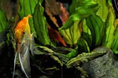 Ψάρια αγγέλου στο εγχώριο ενυδρείο Στοκ Εικόνες