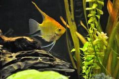 Ψάρια αγγέλου στο εγχώριο ενυδρείο Στοκ Εικόνα