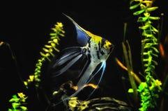 Ψάρια αγγέλου στο εγχώριο ενυδρείο Στοκ φωτογραφία με δικαίωμα ελεύθερης χρήσης