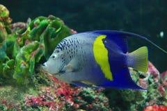 Ψάρια αγγέλου Yellowbar Στοκ Φωτογραφία
