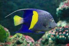 Ψάρια αγγέλου Yellowbar Στοκ εικόνες με δικαίωμα ελεύθερης χρήσης