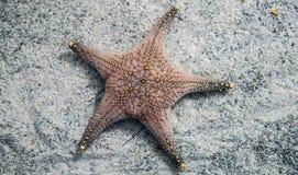 Ψάρια αστεριών Στοκ Φωτογραφία