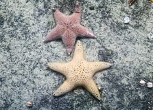 Ψάρια αστεριών Στοκ Εικόνες