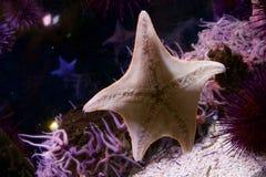 Ψάρια αστεριών Στοκ φωτογραφίες με δικαίωμα ελεύθερης χρήσης