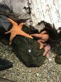 Ψάρια αστεριών Στοκ φωτογραφία με δικαίωμα ελεύθερης χρήσης