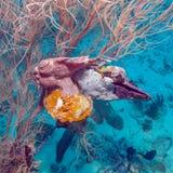 Ψάρια βατράχων κοντά στο κατώτατο σημείο κοραλλιών, Μαλδίβες Στοκ Φωτογραφία