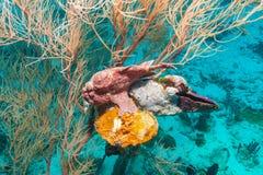 Ψάρια βατράχων κοντά στο κατώτατο σημείο κοραλλιών, Μαλδίβες Στοκ εικόνες με δικαίωμα ελεύθερης χρήσης