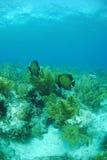 ψάρια γαλλικά αγγέλου Στοκ εικόνες με δικαίωμα ελεύθερης χρήσης