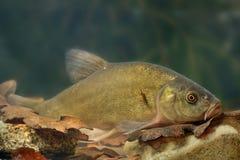 Ψάρια γιατρών (tinca Tinca) στοκ εικόνα