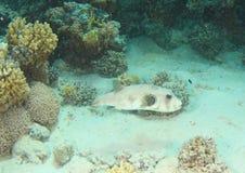 Ψάρια - γιγαντιαίος καπνιστής στοκ φωτογραφία