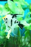 ψάρια διάστικτα Στοκ φωτογραφία με δικαίωμα ελεύθερης χρήσης