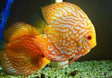 ψάρια ενυδρείων κίτρινα Στοκ φωτογραφίες με δικαίωμα ελεύθερης χρήσης