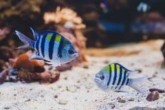 Ψάρια ενυδρείων - λοχίας σημαντικός ή pÃntano Στοκ Εικόνες