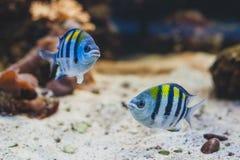 Ψάρια ενυδρείων - λοχίας σημαντικός ή pÃntano Στοκ Εικόνα