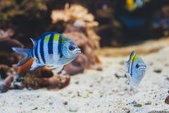 Ψάρια ενυδρείων - λοχίας σημαντικός ή pÃntano Στοκ Φωτογραφία