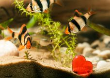 Ψάρια ενυδρείων με την καρδιά Στοκ φωτογραφία με δικαίωμα ελεύθερης χρήσης