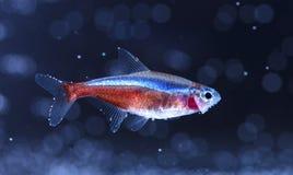 Ψάρια ενυδρείων, νέο Στοκ εικόνα με δικαίωμα ελεύθερης χρήσης
