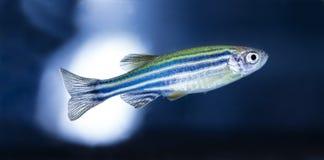 Ψάρια ενυδρείων, νέο Στοκ Φωτογραφίες