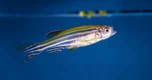 Ψάρια ενυδρείων, νέο Στοκ φωτογραφία με δικαίωμα ελεύθερης χρήσης