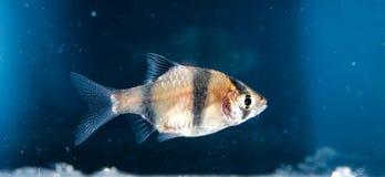 Ψάρια ενυδρείων, νέο Στοκ Εικόνες