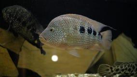 Ψάρια ενυδρείων στο ενυδρείο φιλμ μικρού μήκους