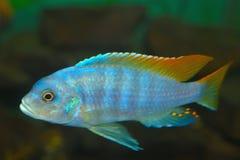 Ψάρια ενυδρείων electra Hap Placidochromis βαθιά νερών στοκ φωτογραφία με δικαίωμα ελεύθερης χρήσης