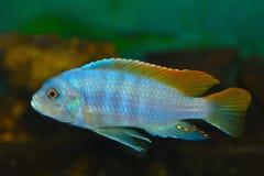 Ψάρια ενυδρείων electra Hap Placidochromis βαθιά νερών στοκ φωτογραφίες με δικαίωμα ελεύθερης χρήσης