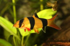 Ψάρια ενυδρείων macracanthus Botia γατόψαρων botia τιγρών κλόουν loach στοκ εικόνες