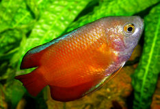 Ψάρια ενυδρείων από την Ασία Στοκ Εικόνες