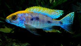 Ψάρια ενυδρείων από την Αφρική Στοκ Εικόνες