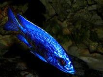 Ψάρια ενυδρείων από την Αφρική Στοκ Εικόνα