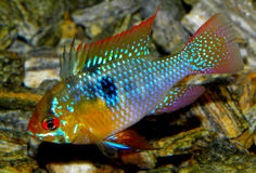 Ψάρια ενυδρείων από τη Νότια Αμερική του γλυκού νερού ramirezi κριού microgeophagus ψαριών ενυδρείων cichlid Στοκ εικόνες με δικαίωμα ελεύθερης χρήσης