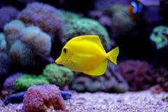 Ψάρια ενυδρείων κοραλλιογενών υφάλων Στοκ Φωτογραφία