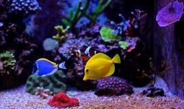 Ψάρια ενυδρείων κοραλλιογενών υφάλων Στοκ Εικόνα