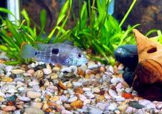 Ψάρια ενυδρείων Στοκ Φωτογραφίες