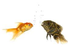 ψάρια ενυδρείων Στοκ Φωτογραφία