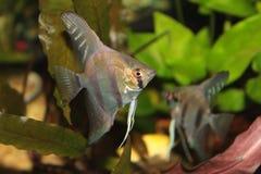 Ψάρια ενυδρείων Angelfish Altum Στοκ φωτογραφίες με δικαίωμα ελεύθερης χρήσης