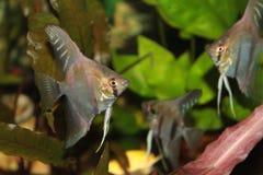 Ψάρια ενυδρείων Angelfish Altum Στοκ Φωτογραφίες