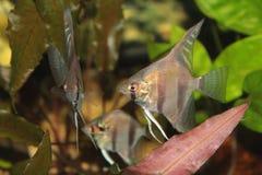 Ψάρια ενυδρείων Angelfish Altum Στοκ φωτογραφία με δικαίωμα ελεύθερης χρήσης