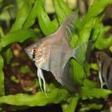 Ψάρια ενυδρείων Angelfish Altum Στοκ εικόνα με δικαίωμα ελεύθερης χρήσης