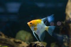 Ψάρια ενυδρείων Angelfish scalare μικρά που κολυμπούν στο ενυδρείο Στοκ Εικόνα