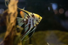 Ψάρια ενυδρείων Angelfish scalare μικρά που κολυμπούν στο ενυδρείο Στοκ Φωτογραφία