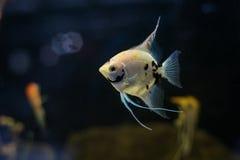 Ψάρια ενυδρείων Angelfish scalare μικρά που κολυμπούν στο ενυδρείο Στοκ Φωτογραφίες