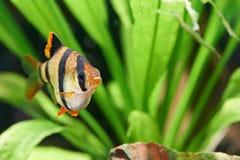 Ψάρια ενυδρείων. Tetrazona puntius Barbus στοκ εικόνα με δικαίωμα ελεύθερης χρήσης