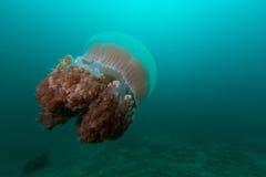 Ψάρια ζελατίνας κάτω από το βαθύ Στοκ Εικόνα