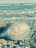 Ψάρια ζελατίνας παράκτια Στοκ φωτογραφίες με δικαίωμα ελεύθερης χρήσης