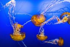 Ψάρια ζελατίνας στο μπλε νερό