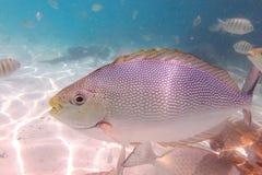 Ψάρια θάλασσας στο νησί Payar, Langkawi, Μαλαισία Στοκ Φωτογραφίες