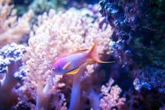 Ψάρια θάλασσας goldie στο ρόδινο υπόβαθρο κοραλλιών και πετρών Στοκ Εικόνα