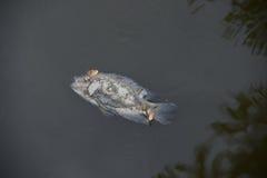 Ψάρια θανάτου Στοκ Φωτογραφίες